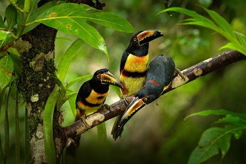 Wall Mural - Small toucans in habitat. Toucan Collared Aracari, Pteroglossus torquatus, bird with big bill, sitting on the branch in the green forest, Boca Tapada, Costa Rica. Nature travel in central America.