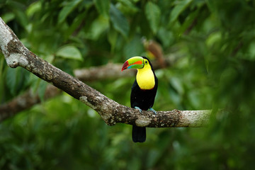 Wall Mural - Toucan sitting on the branch in the forest, Boca Tapada, green vegetation, Costa Rica. Nature travel in central America. Keel-billed Toucan, Ramphastos sulfuratus, bird with big bill.