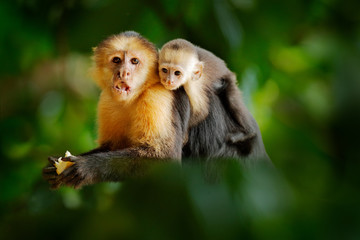 Photo sur Plexiglas Singe Monkey with young. Black monkey hidden in the tree branch in the dark tropical forest. White-headed Capuchin, feeding fruits. Animal in nature habitat, wildlife of Costa Rica. Cub and mother.