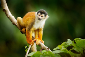 Poster de jardin Singe Squirrel monkey, Saimiri oerstedii, sitting on the tree trunky with green leaves, Corcovado NP, Costa Rica. Monkey in the tropic forest vegetation. Wildlife scene from nature. Beautiful cute animal.