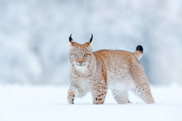 Eurasian Lynx, wild cat in the forest with snow. Wildlife scene from winter nature. Cute big cat in habitat, cold condition. Snowy forest with beautifal aninal wild lynx, Germany.