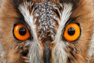 Wall Mural - Detail of owl eyes. Close-up portrait of Long-eared owl sitting on the branch in the fallen larch forest during autumn. Wildlife scene from the nature habitat. Big orange eye, face portrait.
