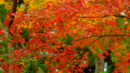 Autumn Leaf in Japan