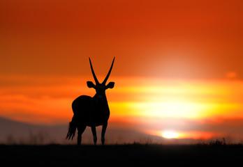 Gemsbok with orange sand dune evening sunset. Gemsbuck, Oryx gazella, large antelope in nature habitat, Sossusvlei, Namibia. Wild animals in the savannah. Animal with big straight antler horn.