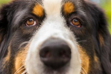 Retrato de Cachorro São Bernardo