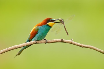 European Bee-eater, Merops apiaster, beautiful bird sitting on the branch with dragonfly in the bill, action scene in the nature habitat, Bulgaria. Animal with catch.