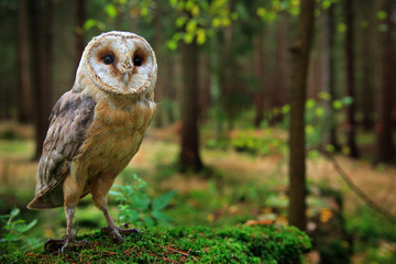 Wall Mural - Barn owl, Tyto alba, sitting on the green moss stone in forest at the evening - photo with wide lens including habitat. Wildlife scene in nature habitat. Bird with forest and grass meadow.