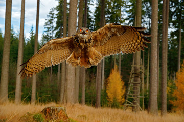 Wall Mural - Owl in forest habitat, wide angle lens. Flying Eurasian Eagle Owl with open wings in  the wood, Russia. Owl flight with open wings, action wildlife scene from nature.