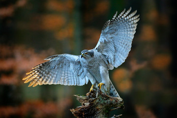 Wall Mural - Goshawk landing, bird of prey with open wings with evening sun back light, nature forest habitat in background, landing on tree trunk, France. Wildlife scene from autumn nature. Bird fly in habitat.