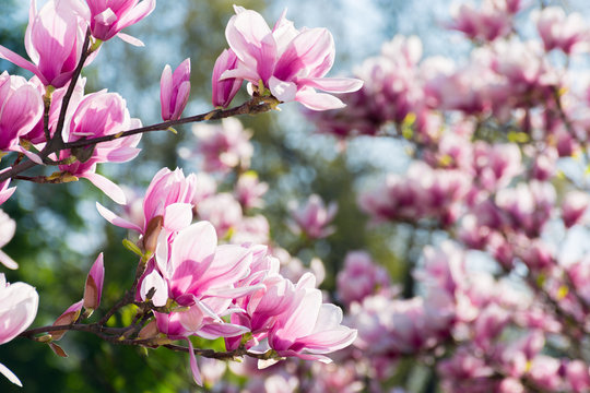 beautiful magnolia flowers on the branches. wonderful nature background in springtime. sunny weather