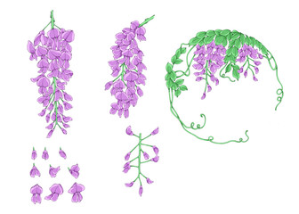 Colorful illustration of wisteria flowers, isolated.