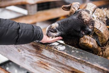 feeding sheep on the farm