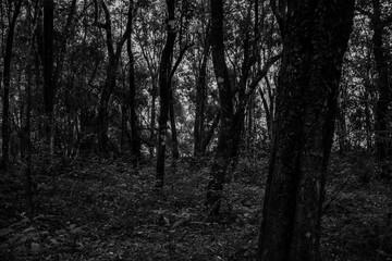 dark forest (black and white)
