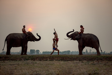 Muay Thai fighting and mahout elephants and this is traditional culture  in Chang Village Surin Thailand.