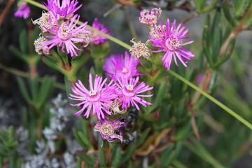 Wunderschöne violette Blüte im Garten