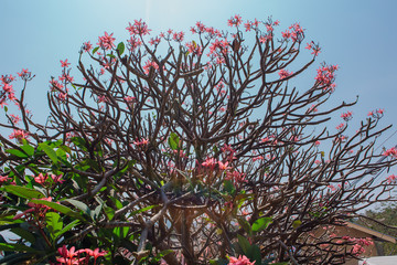 Neautiful pink frangipani flowers on the bush