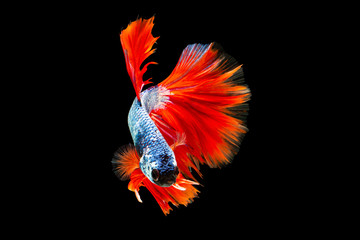 Wall Murals The moving moment beautiful of siamese betta fish or splendens fighting fish in thailand on black background. Thailand called Pla-kad or fancy biting fish.