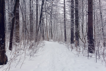 forest in a winter