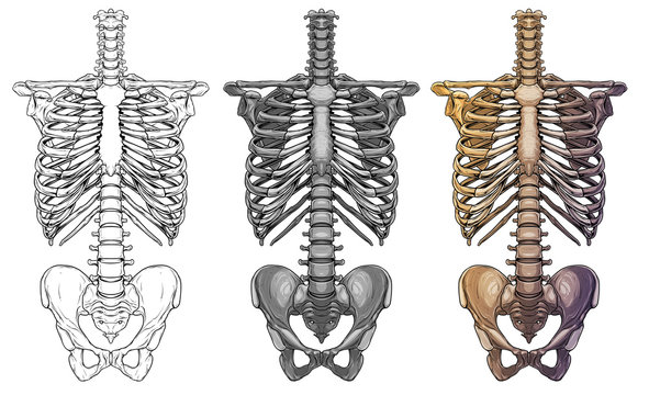 Graphic detailed black and white colorful human skeleton thorax bones. Isolated on white background. Vector icon set.