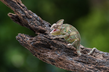 Portrait of a chameleon on a branch, Indonesia