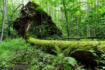 Fototapeta Martwe drzewo leżące na ziemi w Białowieskim Parku Narodowym. obraz