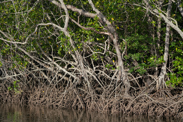 Mangroves in Queensland Australia