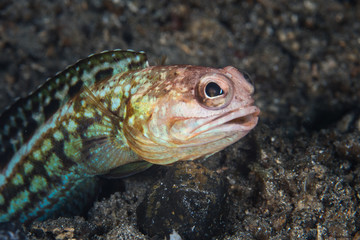 Variable Jawfish in Indonesia