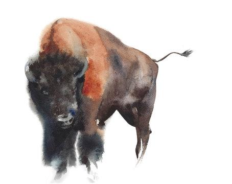 Buffalo bull mammal animal wildlife American symbol watercolor painting illustration isolated on white background