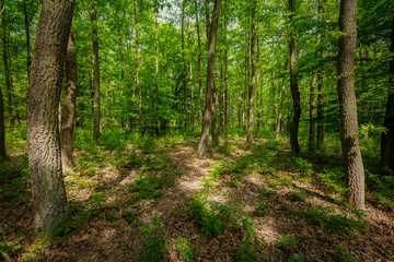 Beautiful oak forest at springtime