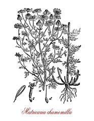 Vintage botanical engraving of chamomile, annual plant with white flower heads around a yellow disc.  The plant is the principal source of the herbal tea named chamomile used as sleep aid