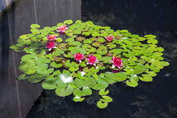 A Circle of Water Lilies