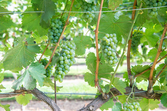 Bunches of green grapes on the vine in Solvang, California