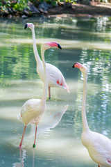 white and pink flamingo live birds walk in the water at the zoo in warm summer