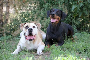 american bulldog and doberman