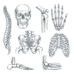 Human skeleton, bones and joints. Vector sketch isolated illustration. Hand drawn doodle anatomy symbols set