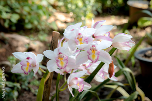 Orchid Christmas Tree.Cymbidium Orchid Orissa Christmas Tree Orchid Family