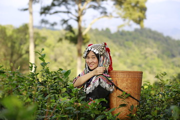 Fototapeta Hill tribe Asian woman in traditional clothes collecting tea leaves with basket in tea plantations terrace, Chiang mai, Thailand collect tea leaves obraz