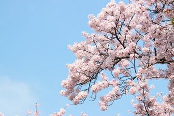 봄에 아름답게 피어난 벚 꽃이다.