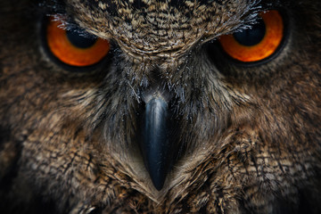 Owls Portrait. Owl eyes. - Image