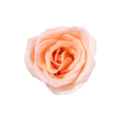 top view of single pink rose flower blooming isolated on white background with clipping path