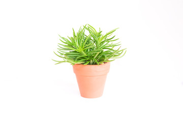 Beautiful close up cactus or cacti  with green leaves succulent overlap or pile up growing in brow orange pot with white background isolated, dessert plant and use decor in house.