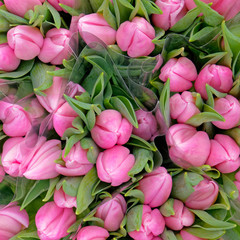 pale pink tulip flowers top view as a natural background