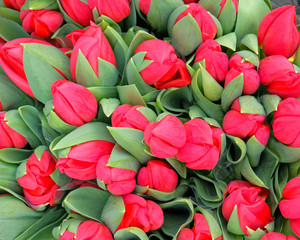 vibrant red tulip flowers top view as a natural background
