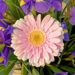 pink and yellow gerber flower closeup top view