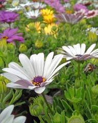 pale white daisybush flowers closeup