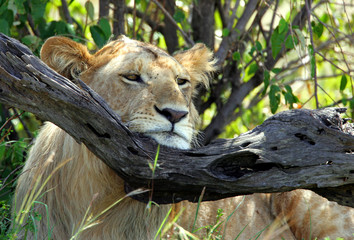 A lion rests his head on a tree branch in Kenya's Maasai Mara game reserve.