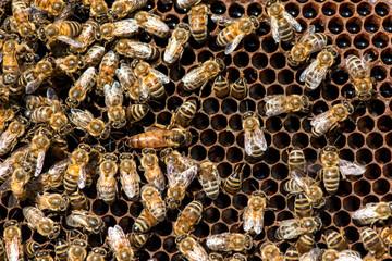The queen bee swarm. Close-up of a queen bee - selective focus