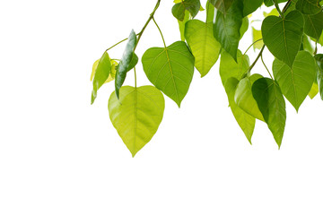 Leaves of the bodhi tree on white background