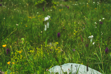 alpine wild Meadow