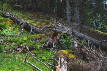 alpine natural fallen Trees